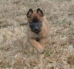 Mason's Belgian Malinois puppies