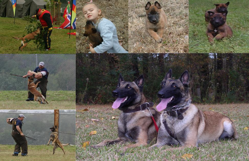 Welcome to Mason's Belgian Malinois Kennels